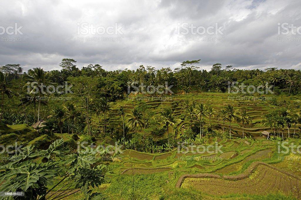 Reisterrass'in Bali – Foto