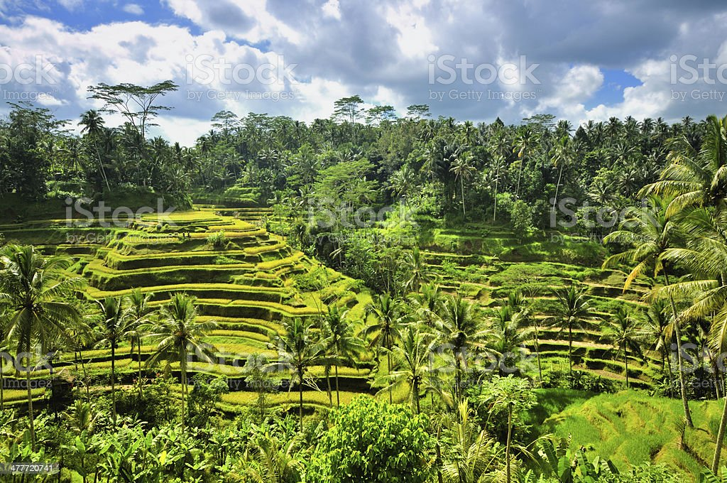 Rice terrace royalty-free stock photo