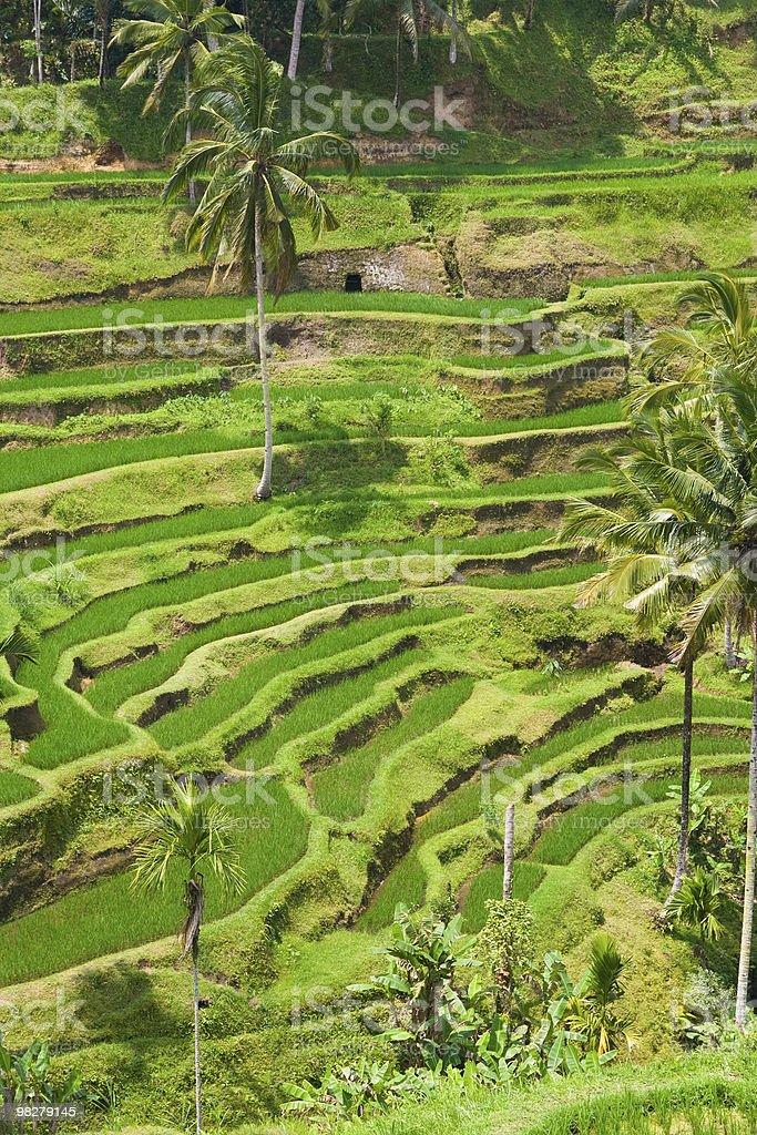 Rice terrace royalty-free stock photo