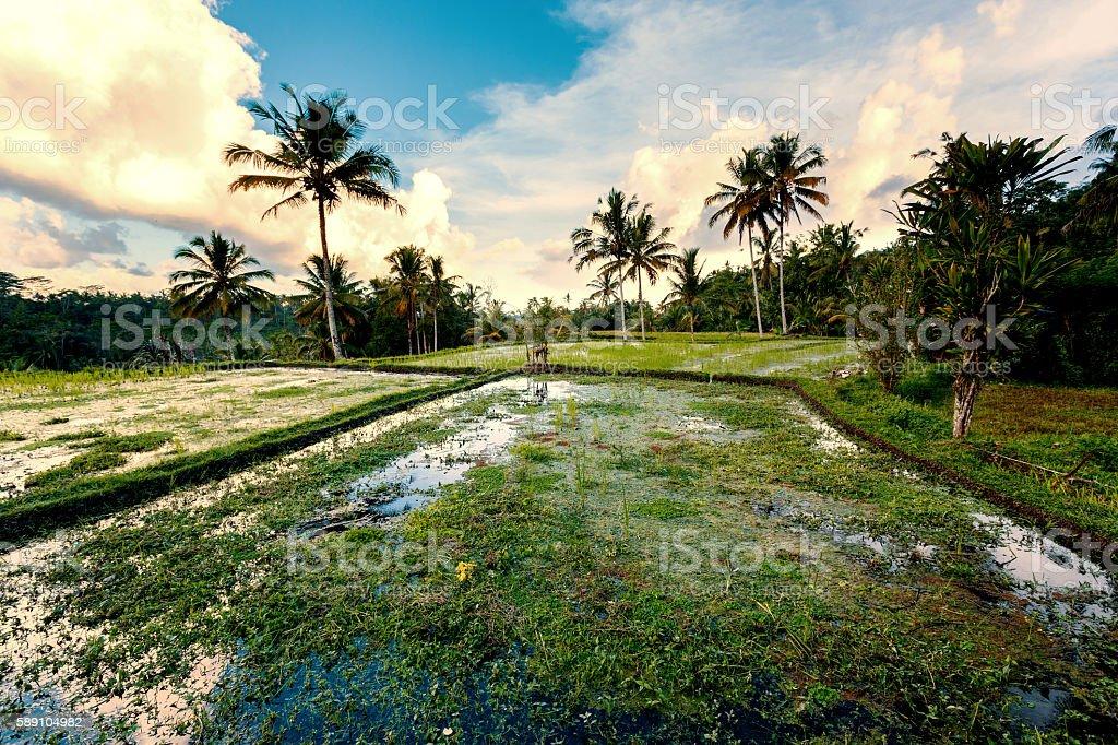 Rice terraced paddy fields in Gunung Kawi stock photo