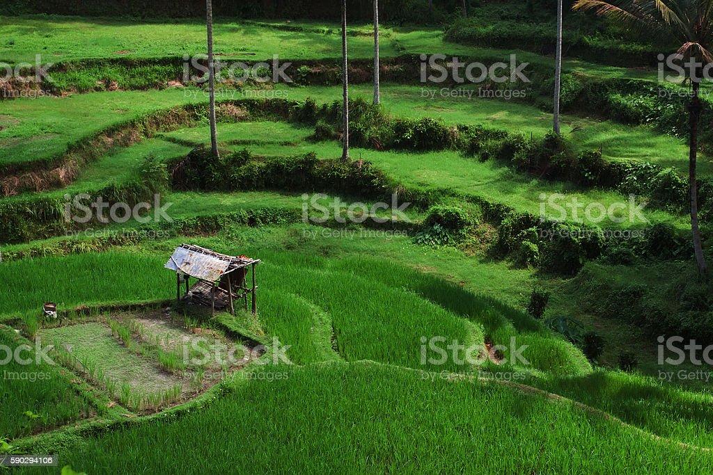 rice terraces at sunrise Стоковые фото Стоковая фотография