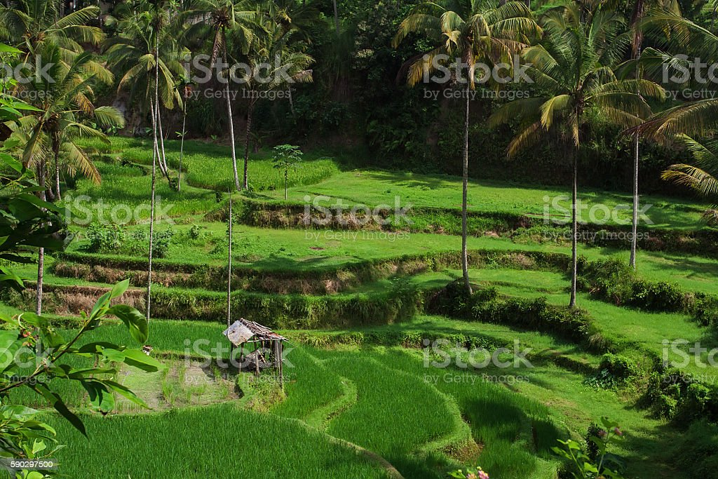 rice terraces at sunrise royaltyfri bildbanksbilder