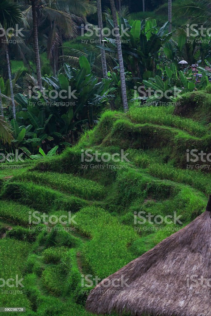 rice terraces at sunrise royaltyfri bildbanksbilder