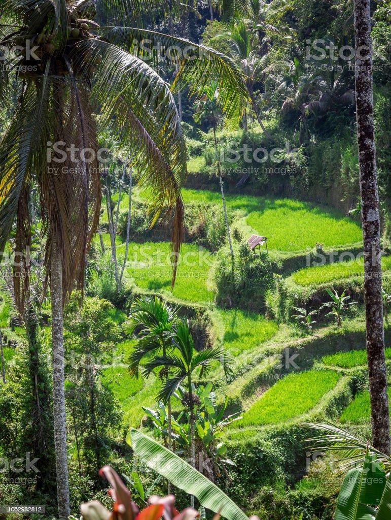 Terrazas De Arroz Bali Foto De Stock Y Más Banco De Imágenes