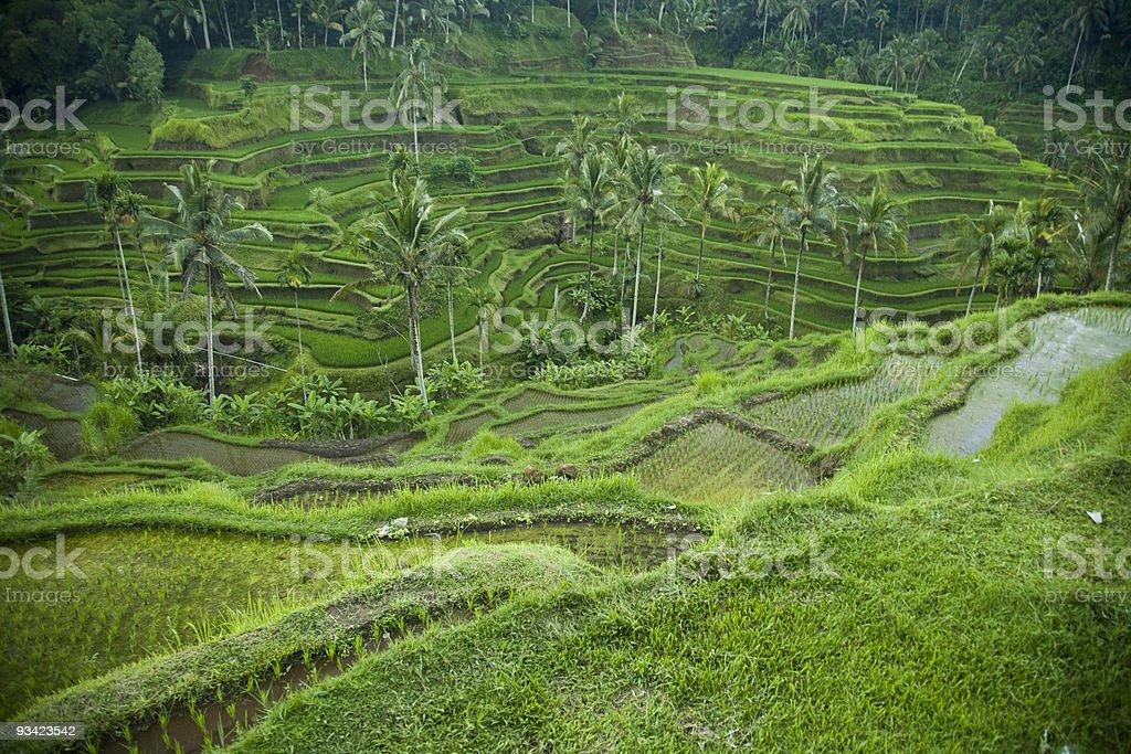 Bali De Terrazas De Arroz Foto De Stock Y Más Banco De
