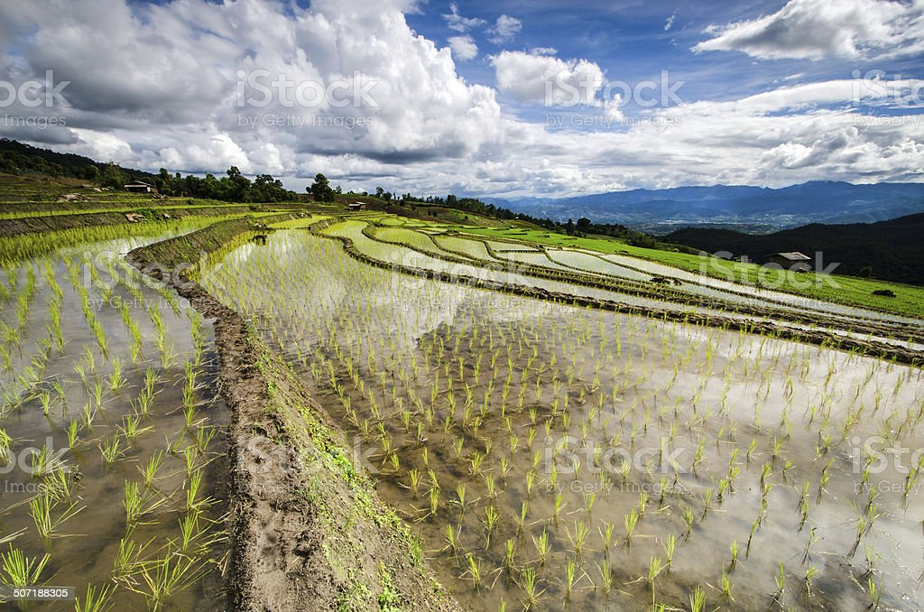 Rice terraces field with sunset stock photo