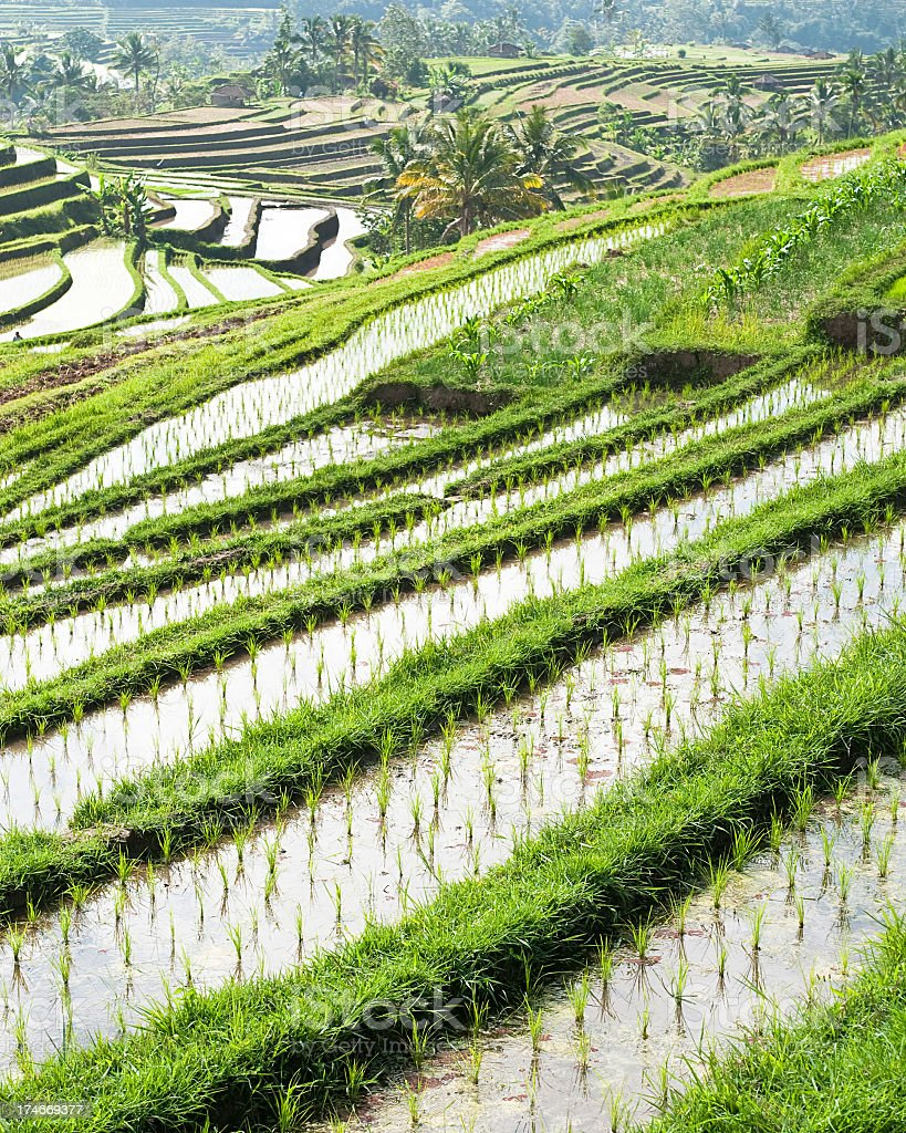 Rice Terraces in Bali royalty-free stock photo