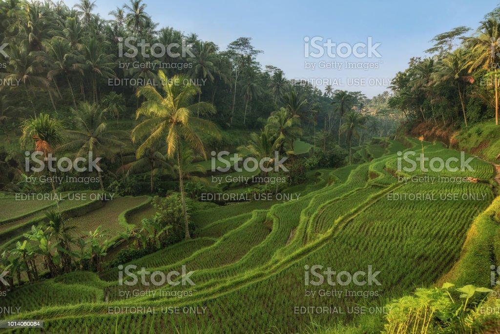 Terrazas De Arroz En El Campo De Cultivo Granja De