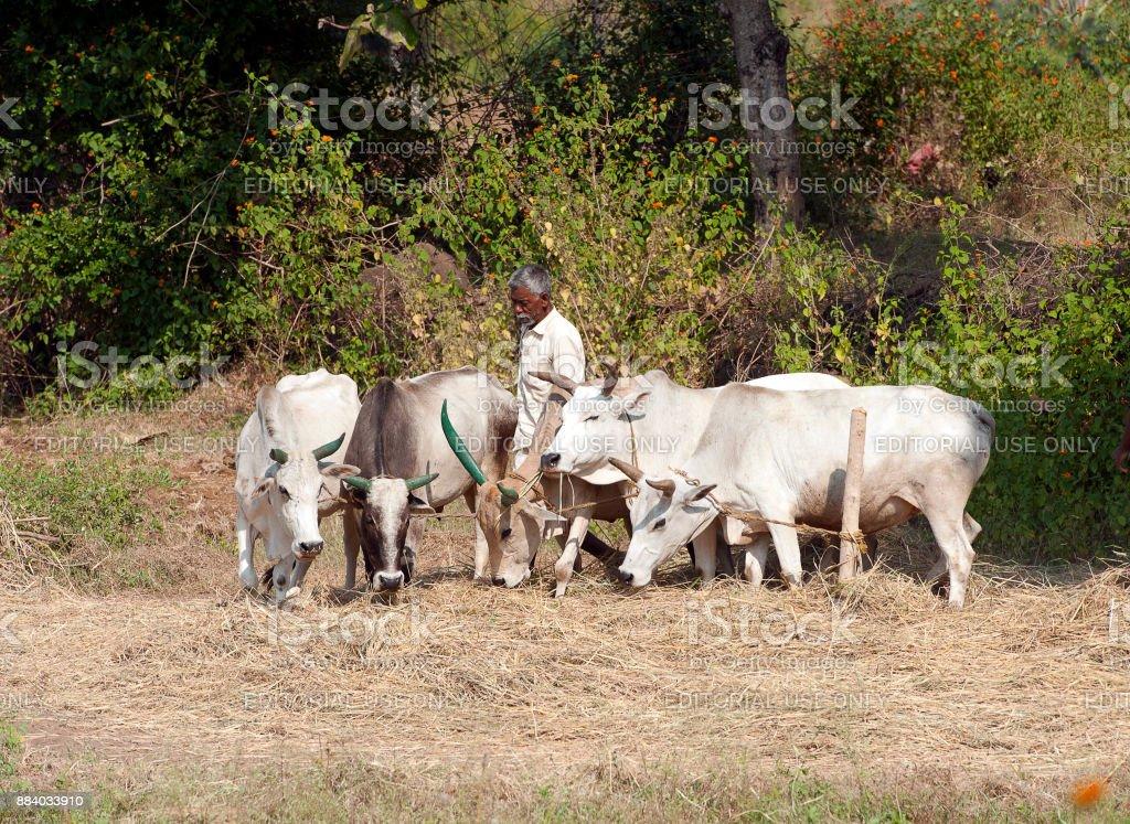 Rice threshing, Madhya Pradesh, India stock photo