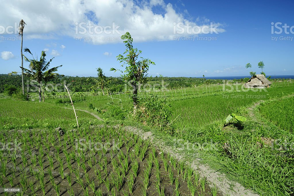 Risaia in Indonesia foto stock royalty-free