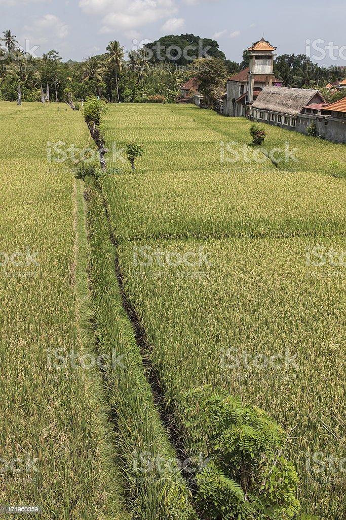 Ricefield in Ubud, Bali royalty-free stock photo