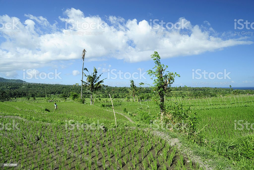 Ricefield landscape royalty-free stock photo