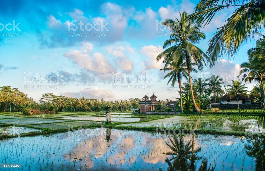 Ricefield view of Bali in Indonesia stock photo