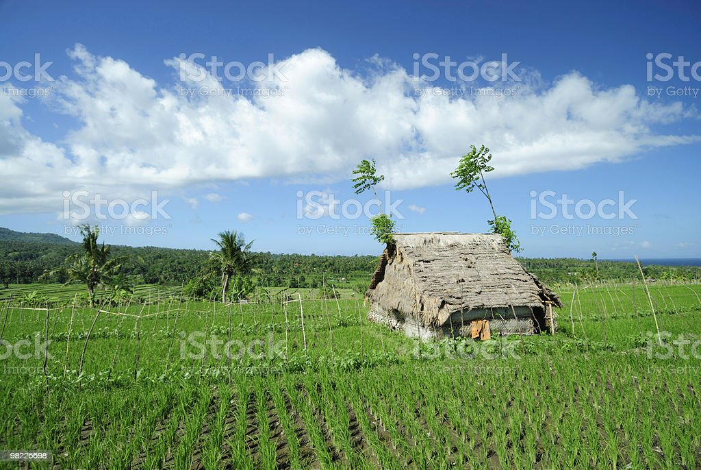 Ricefield with shelter in Indonesia royalty-free stock photo