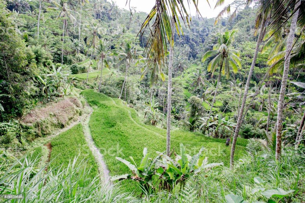Ricefields foto