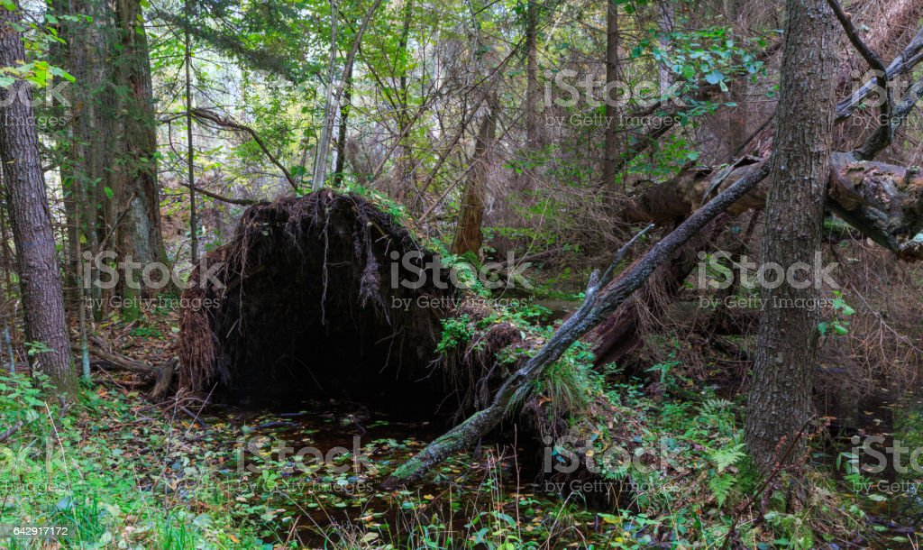 Rich deciduous stand with broken tree stock photo
