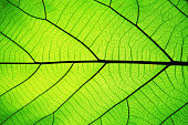 Rich green leaf texture see through symmetry vein structure, beautiful nature texture concept, copy space