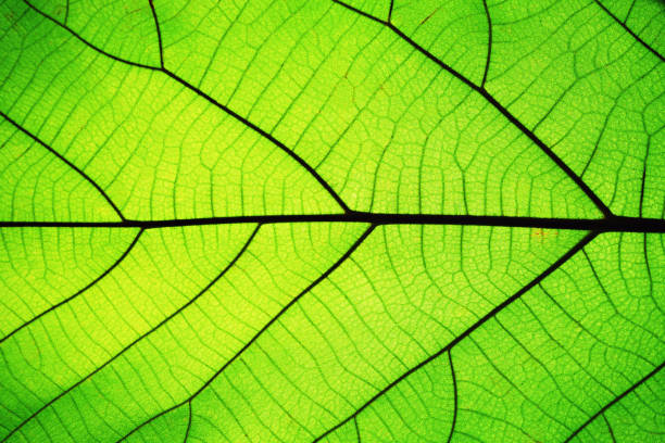 rich green leaf texture see through symmetry vein structure, beautiful nature texture concept, copy space - leaf imagens e fotografias de stock