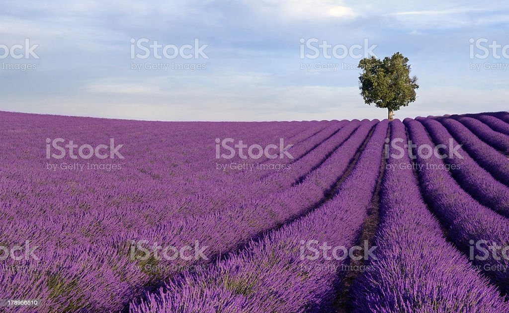 Rich lavender field with a lone tree stock photo