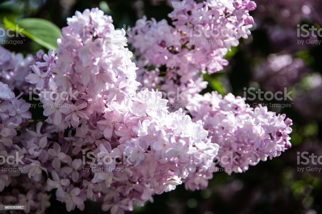 Rich lilac inflorescence royalty-free stock photo
