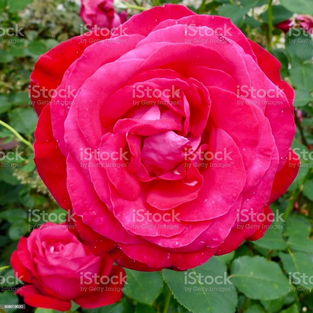 Rich pink rose blossom stock photo