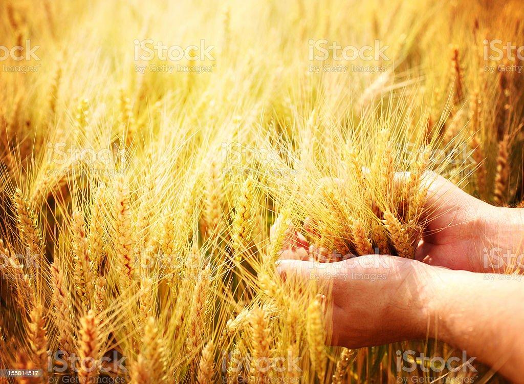 Rich yield. stock photo