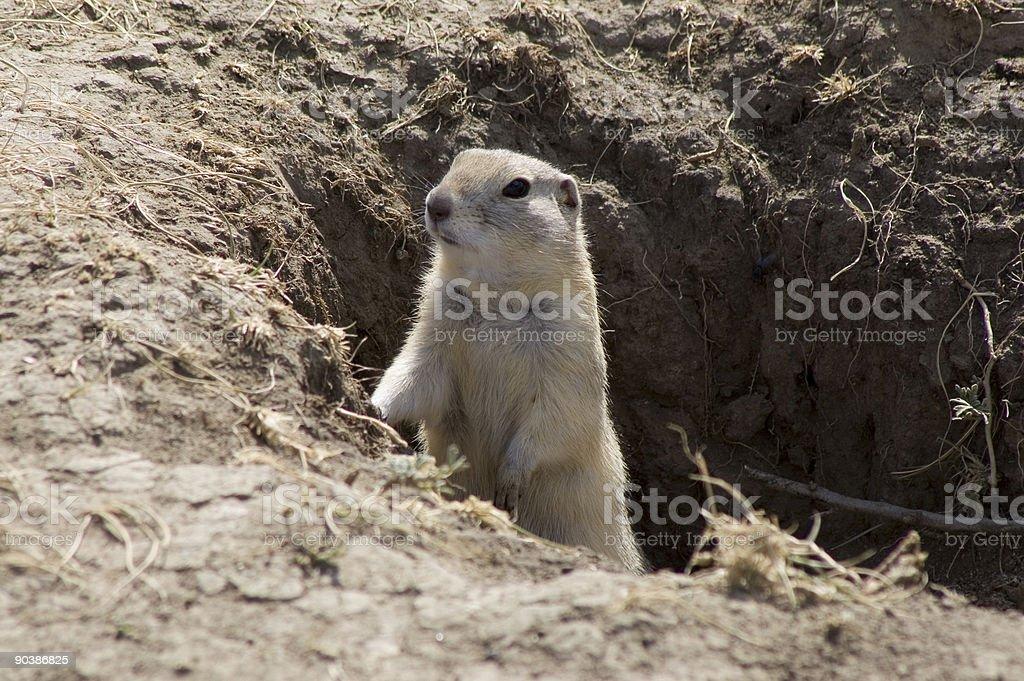 Richardson Ground squirrel stock photo