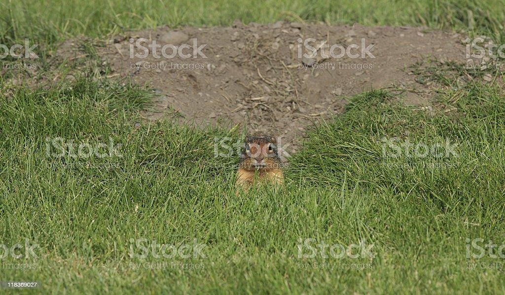 Richardson's Ground Squirrel Peeks at Camera stock photo