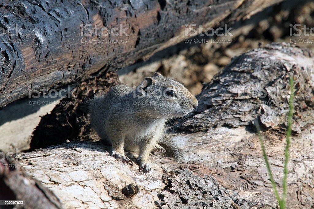 Richardson's Ground Squirrel stock photo