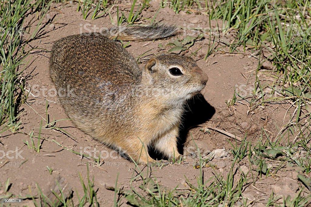 Richardsons Ground Squirrel stock photo