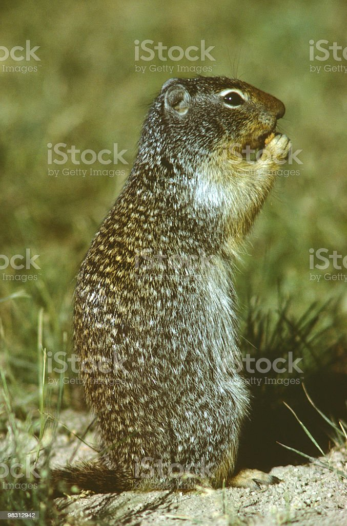 Richardson's Ground Squirrel royalty-free stock photo