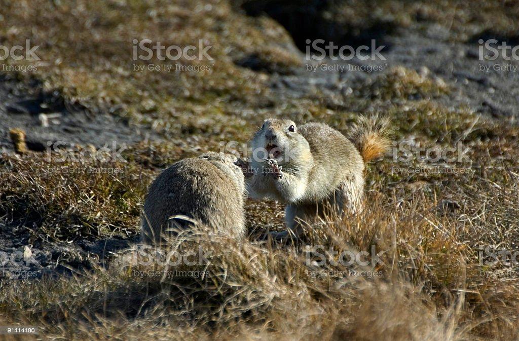 Richardson's Ground Squirrels Fighting stock photo