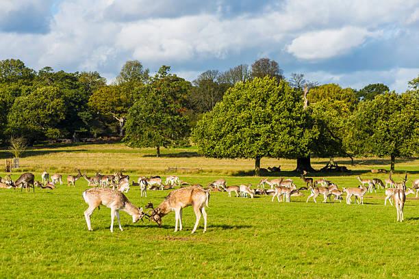 richmond park london - richmond park stock photos and pictures