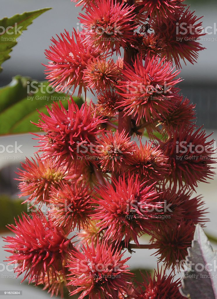 Ricin fruit clusters stock photo