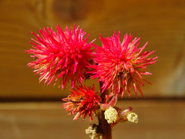Ricinus Blossom Blossom of the Ricinus plant, used in medicine, but also in car racong events. Not to forget the colorful appearance in the garden. ricin stock pictures, royalty-free photos & images