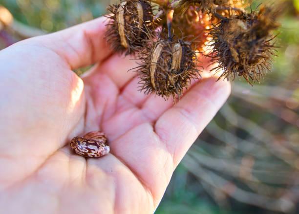 人手蓖麻蓖麻籽 - ricin 個照片及圖片檔