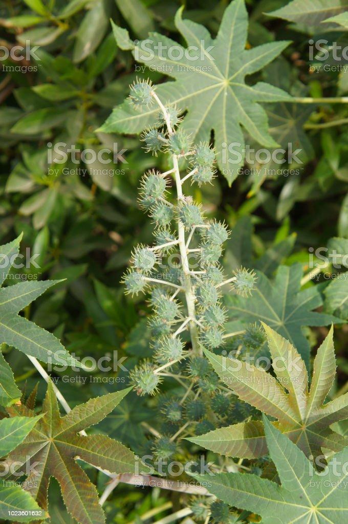 Ricinus Communis Or Castor Bean Or Castor Oil Plant Stock Photo Download Image Now Istock