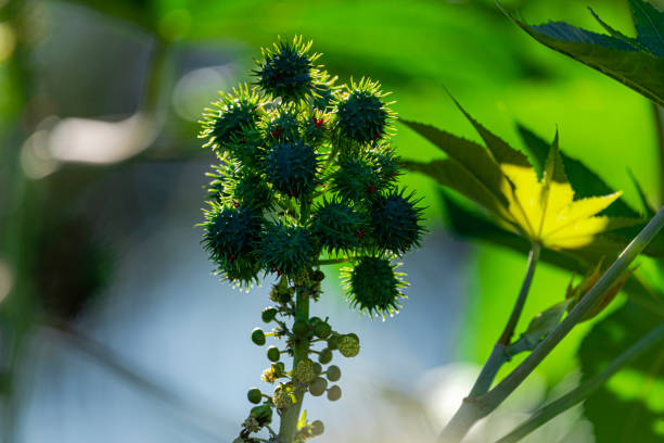 里西努斯公社種植園,俗稱腳豆,腳豆,是一種植物在尤格比亞家族,其主要衍生產品是腳輪油,也被稱為腳輪油。馬莫納。 - ricin 個照片及圖片檔