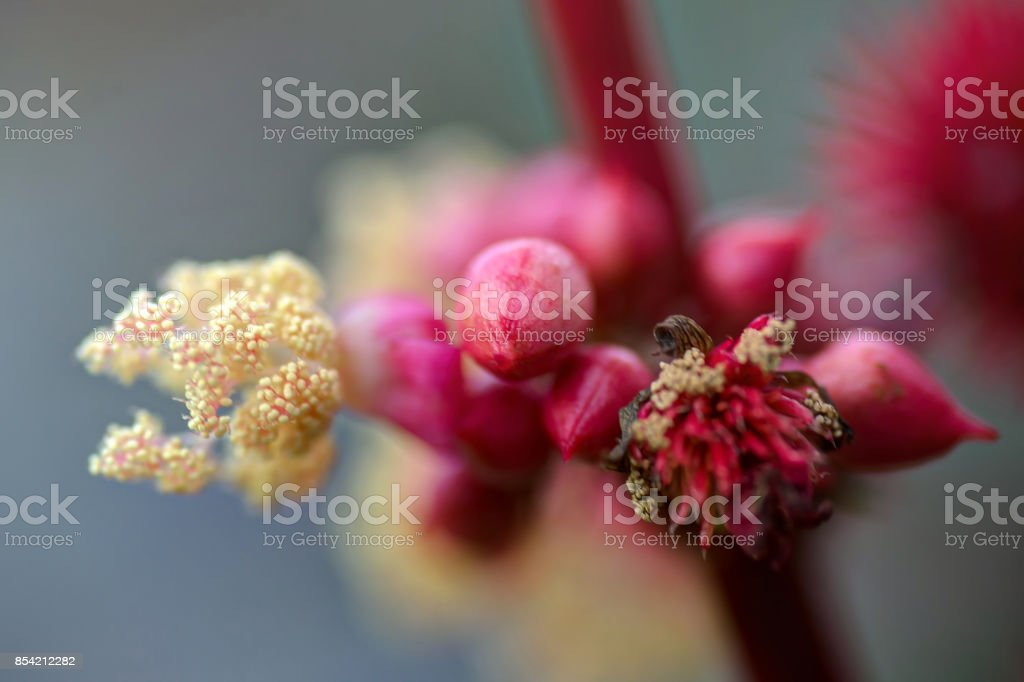Ricinus with white flowers and red fruits stock photo