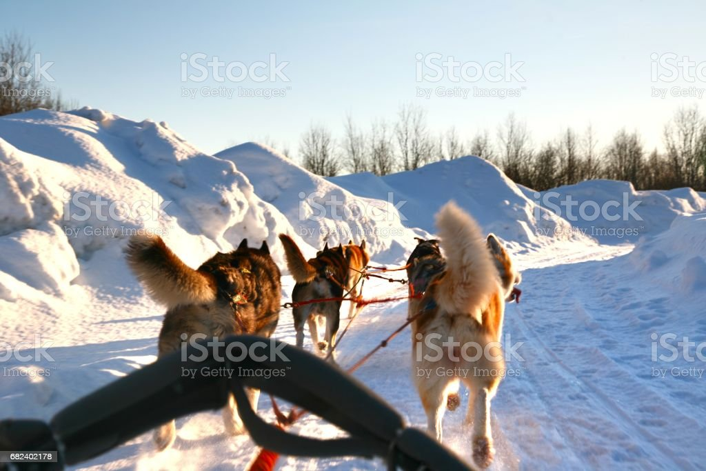 Ride a Siberian husky in Husky park , Murmansk Russia royalty-free stock photo