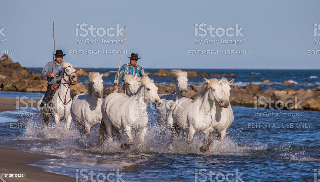 Rider on the horse graze Camargue horses along the sea beach in the Parc Regional de Camargue - Provence, France stock photo