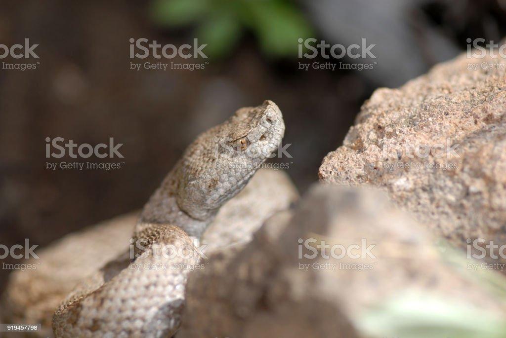 Ridge Nosed Rattlesnake stock photo