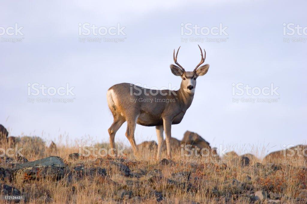 Ridge Top Buck stock photo