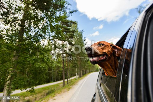 istock Ridgeback dog enjoying ride in car looking out of window 701014670