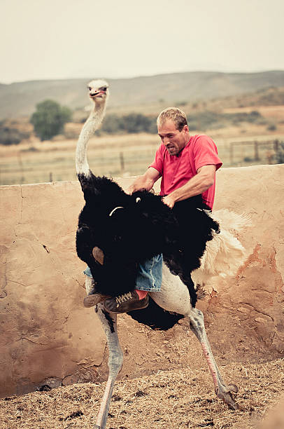 riding an ostrich - struisvogel stockfoto's en -beelden