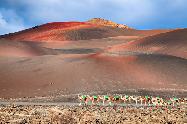 Riding camels are waiting for tourists in Timanfaya National Park, Lanzarote, Canary Islands. stock photo