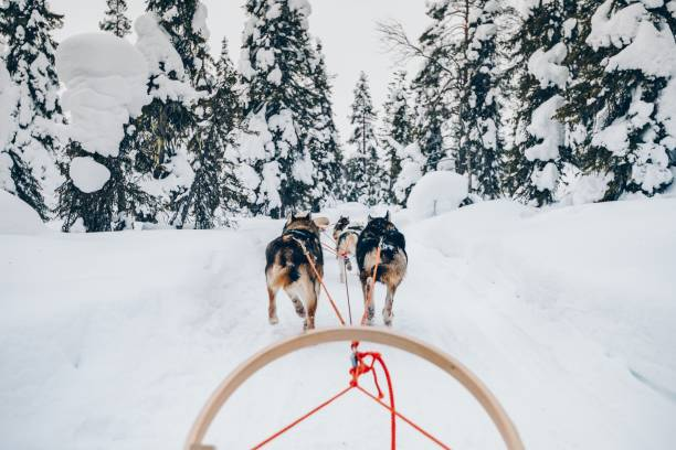 Riding husky dogs sledge in snow winter forest in Finland, Lapland stock photo