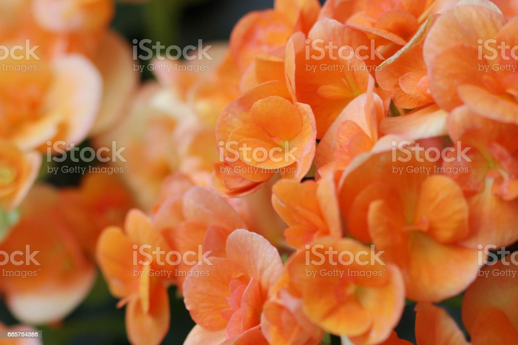 Rieger Begonia bloem op aard foto
