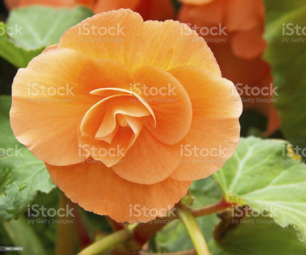 Rieger begonia flower foto