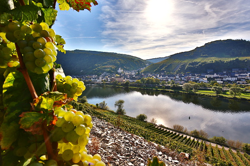 Riesling grapes and Moselle
